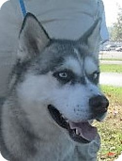 Husky Mix Dog for adoption in Germantown, Maryland - Tundra