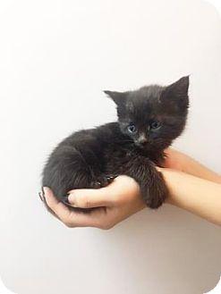 Domestic Shorthair Kitten for adoption in New York, New York - Fisi