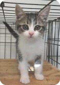 Domestic Shorthair Kitten for adoption in Stuart, Virginia - Dusty