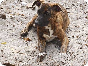 Catahoula Leopard Dog Mix Puppy for adoption in Old Town, Florida - Hanna