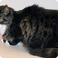 Domestic Mediumhair Cat for adoption in Wildomar, California - Murphy
