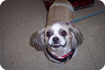 Shih Tzu Dog for adoption in Olivet, Michigan - Petey