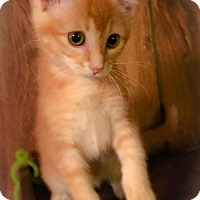 Adopt A Pet :: Francine - Kitten - Rootstown, OH
