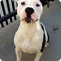 Adopt A Pet :: Tebow - Santa Maria, CA