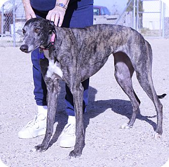 Greyhound Dog for adoption in Tucson, Arizona - Maggie