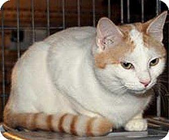 Siamese Kitten for adoption in Taftville, Connecticut - Lena