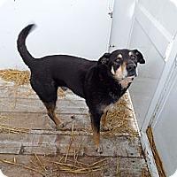 Adopt A Pet :: Hobo - Chewelah, WA