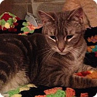 Adopt A Pet :: Gracie Gray - western, MN
