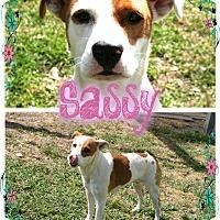Adopt A Pet :: Sassy - Tampa, FL