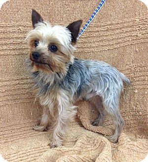 Yorkshire Terrier Nj Allentown, NJ -...