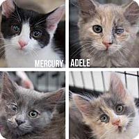 Adopt A Pet :: Tina Turner - Merrifield, VA