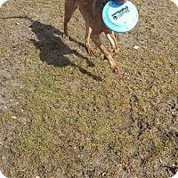 Adopt A Pet :: Maple - staten Island, NY