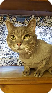 Domestic Shorthair Cat for adoption in Patterson, New York - Guga