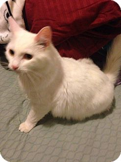 Domestic Mediumhair Cat for adoption in Muskegon, Michigan - Murray  (I need a barn)