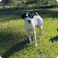 Labrador Retriever/Hound (Unknown Type) Mix Dog for adoption in Hammond, Louisiana - Oreo
