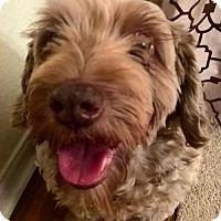 Adopt A Pet :: Rocco II - Dallas, TX