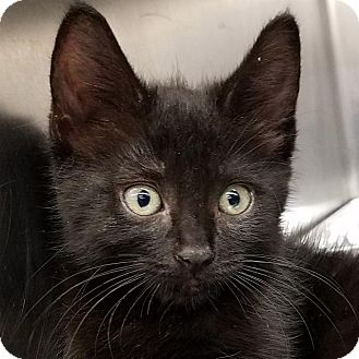 Domestic Shorthair Kitten for adoption in New York, New York - Aria