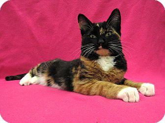 Domestic Shorthair Cat for adoption in Redwood Falls, Minnesota - Izzy