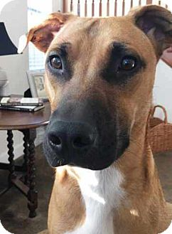 American Staffordshire Terrier/German Shepherd Dog Mix Dog for adoption in Pleasant Grove, California - Lucky
