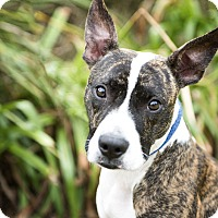 Adopt A Pet :: Maggie May - Baltimore, MD