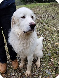 Great Pyrenees/Akbash Mix Dog for adoption in Red Bluff, California - Kyro