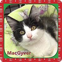 Adopt A Pet :: MacGyver - Atco, NJ
