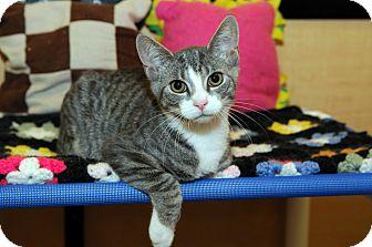 Domestic Shorthair Kitten for adoption in Farmingdale, New York - Cameron