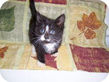 Domestic Shorthair Kitten for adoption in East Brunswick, New Jersey - Tick