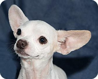 Chihuahua Dog for adoption in Cumberland, Maryland - Bumble Bee