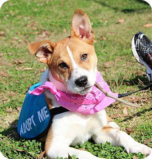 Foxhound/Beagle Mix Dog for adoption in Charlemont, Massachusetts - Bridget