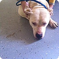 Pit Bull Terrier Mix Dog for adoption in Blanchard, Oklahoma - Dixie