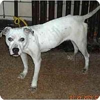 Adopt A Pet :: Clarice - Chicago, IL