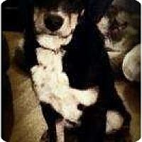 Adopt A Pet :: Castanza - Hagerstown, MD