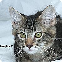 Adopt A Pet :: Quigley V - Sacramento, CA