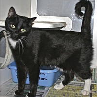 Domestic Shorthair Cat for adoption in Salisbury, North Carolina - Kiki