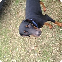 Adopt A Pet :: Loki - Kingwood, TX