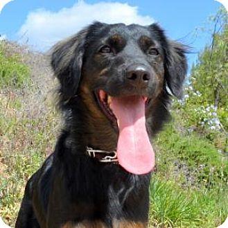 German Shepherd Dog/Cocker Spaniel Mix Dog for adoption in San Diego, California - Misa