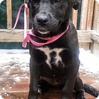 Adopt A Pet :: Lab/Shepherd mix pups - Chicago, IL