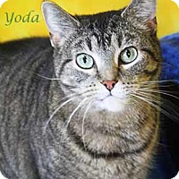 Domestic Shorthair Cat for adoption in South Bend, Indiana - Yoda