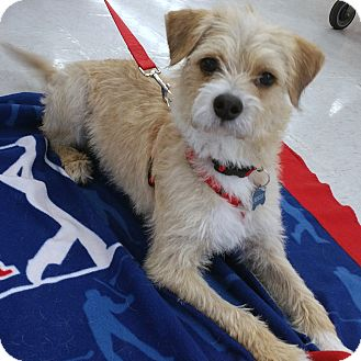 Roscoe | Adopted Dog | Phoenix, AZ | Border Terrier/Poodle ...