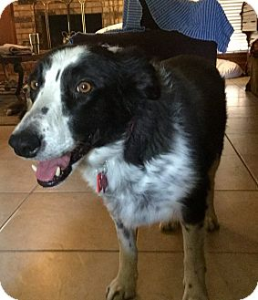 Border Collie Mix Dog for adoption in Allen, Texas - Missy