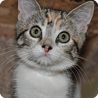 Domestic Shorthair Kitten for adoption in La Canada Flintridge, California - Fuji - Available Today!