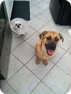 German Shepherd Dog/Terrier (Unknown Type, Medium) Mix Dog for adoption in Chesire, Connecticut - Behr
