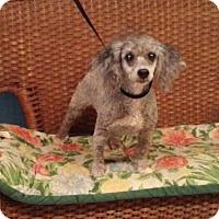 Poodle (Miniature) Dog for adoption in Tulsa, Oklahoma - Teddy