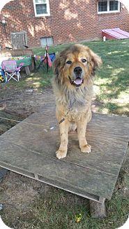 Tibetan Mastiff Dog for adoption in Chambersburg, Pennsylvania - Diesel