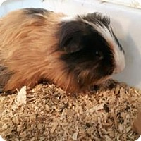 Guinea Pig for adoption in Simcoe, Ontario - Gizettana