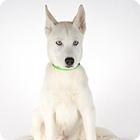 Siberian Husky Puppy for adoption in St. Louis Park, Minnesota - Balto  - No Longer Accepting Applications 10/17/16