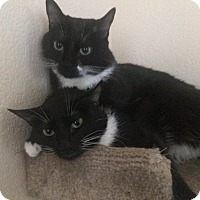 Domestic Shorthair Cat for adoption in Novato, California - Dora and Twinkle Toes