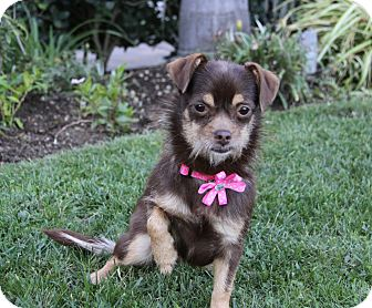 Terrier (Unknown Type, Small)/Chihuahua Mix Dog for adoption in Newport Beach, California - EMMALINE