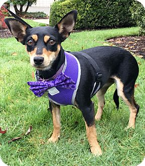 Miniature Pinscher Mix Dog for adoption in Gig Harbor, Washington - Heidi